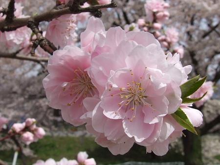 ピンク八重桜