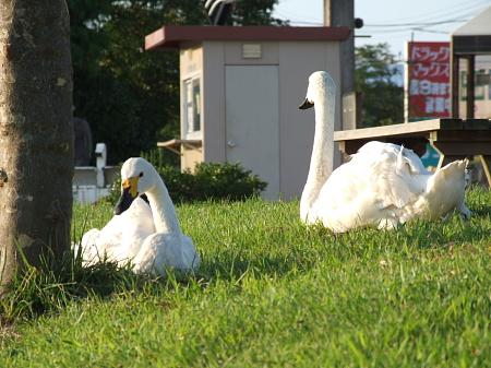 白鳥のカップル